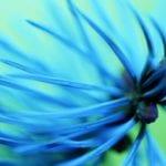 blue plant up close
