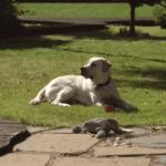 Oscar my yellow labrador retriever